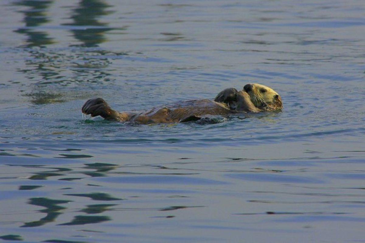 1. Son excelentes nadadoras. Prefieren vivir en el agua que hacerlo en tierra. Foto:Pixabay. Imagen Por:
