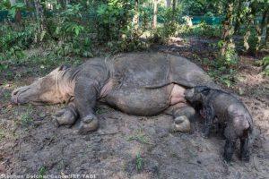 Pueden llegara a pesar entre 600 y 800 kilogramos (mil 300 a mil 700 libras). Foto:instagram.com/rhinosirf/. Imagen Por:
