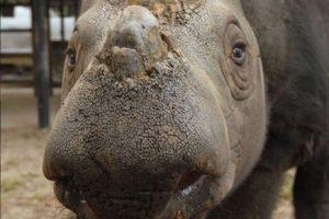 A pesar de las medidas de protección, la caza furtiva continúa por sus cuernos. Es por eso que se encuentra en peligro de extinción. Foto:instagram.com/rhinosirf/. Imagen Por: