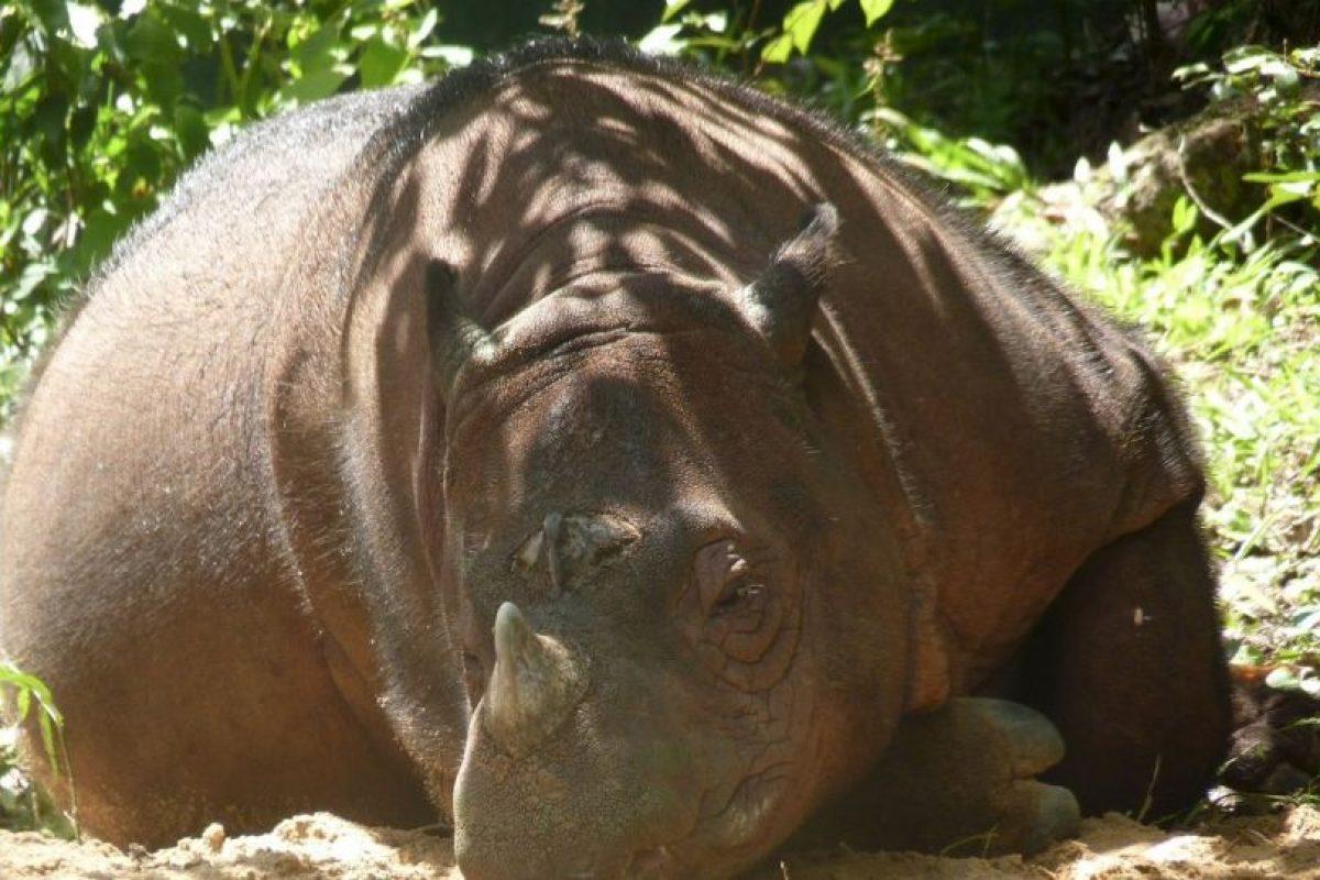 El rinoceronte de Sumatra posee dos cuernos. Foto:facebook.com/InternationalRhinoFoundation/. Imagen Por: