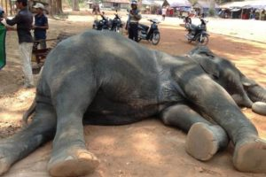 """Identificada como """"Sambo"""", cayó fulminada luego de trabajar durante 40 minutos trasladando turistas al templo Angkor Wat. Foto:vía Getty Images. Imagen Por:"""