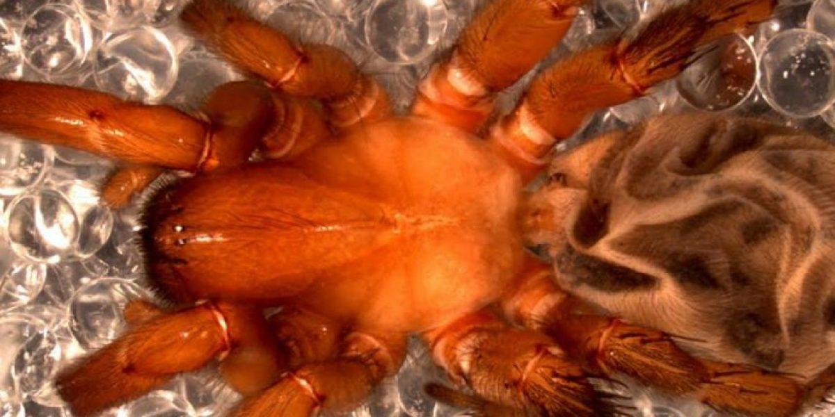 Descubren en Chile una nueva especie de araña similar a las africanas