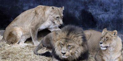 Terror en el zoológico: hombre ingresa a jaula de leones y dos ejemplares son sacrificados