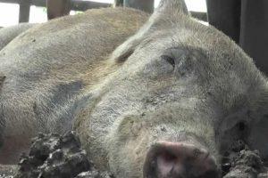 Del cerdo se dice que es el único animal que nunca muere de viejo, debido a que su destino es en muchos casos la matanza. Foto:Wikicommons. Imagen Por: