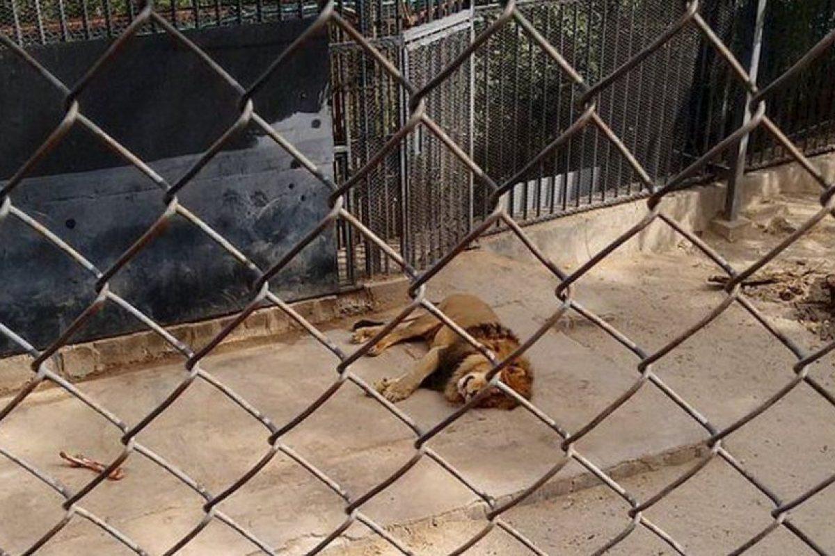 Así quedó uno de los leones después de salvar al hombre. Foto:Twitter/@SkaPanxo. Imagen Por: