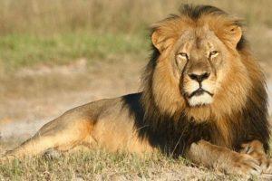 El león (Panthera leo) es un mamífero carnívoro de la familia de los félidos y una de las cinco especies del género Panthera. Foto:Getty Images. Imagen Por: