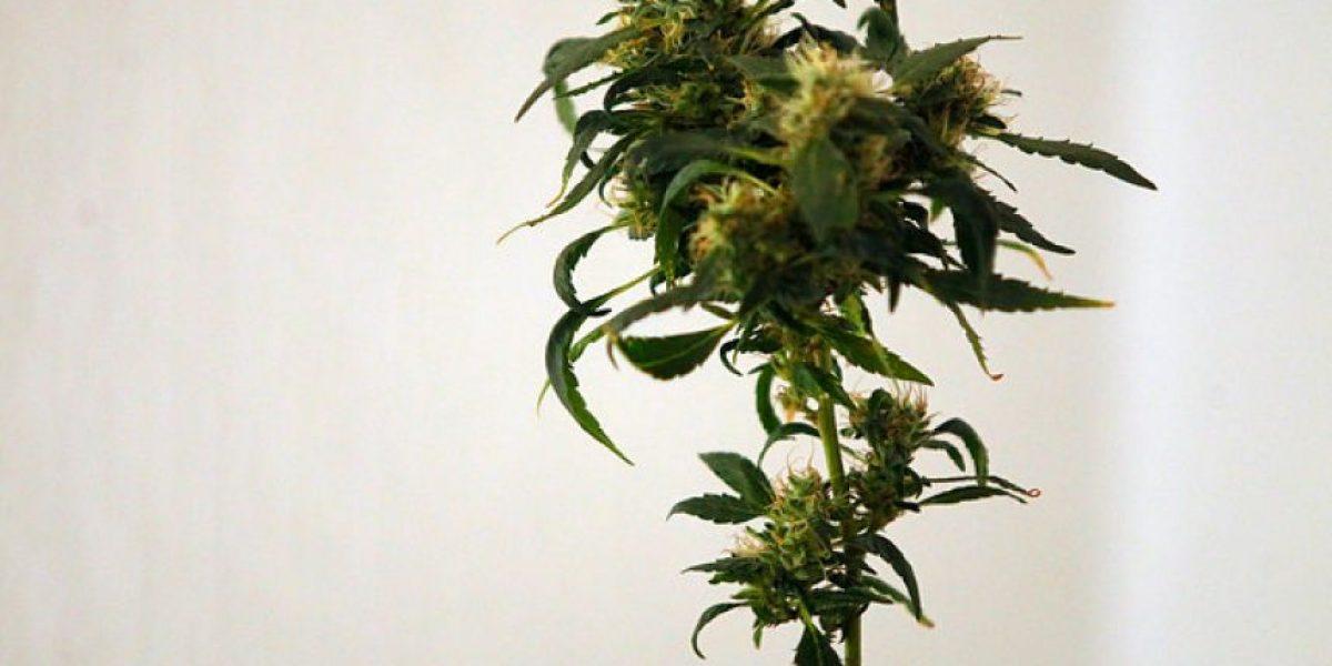 Acogen recurso contra Carabineros por ingreso ilegal a cultivo de marihuana