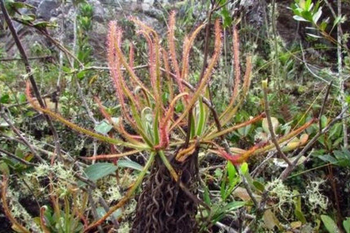 Drosera magnífica Foto:Instituto para la Exploración de Especies. Imagen Por: