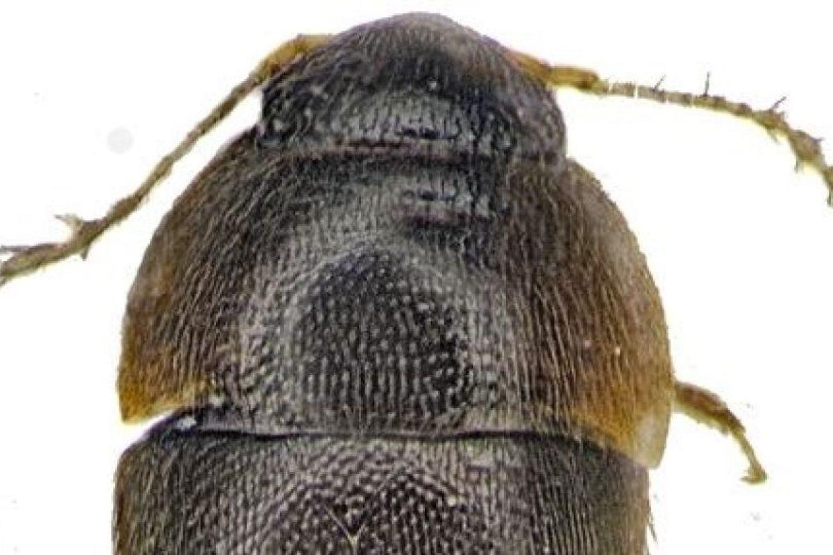Phytotelmatrichis osopaddington Foto:Instituto para la Exploración de Especies. Imagen Por: