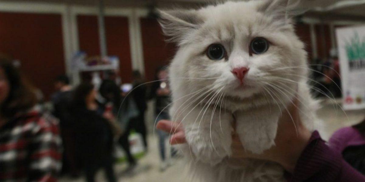 Atención fanáticos: concurso buscará al gato más bello de Chile