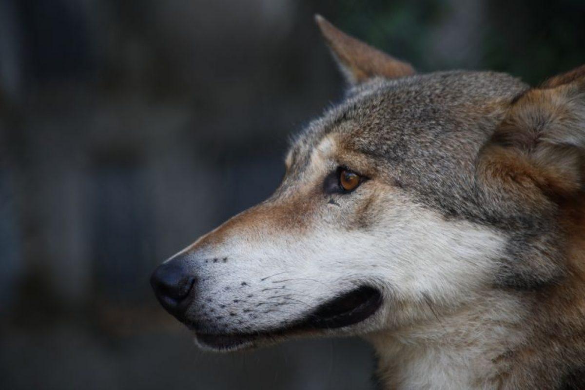 Lobo europeo Foto:Agencia Uno. Imagen Por: