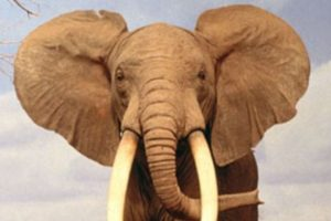Los colmillos de los elefantes pueden atravesarlos, sus patas aplastar sus órganos internos. Por eso los usaban en la guerra. Foto:vía Wikipedia. Imagen Por: