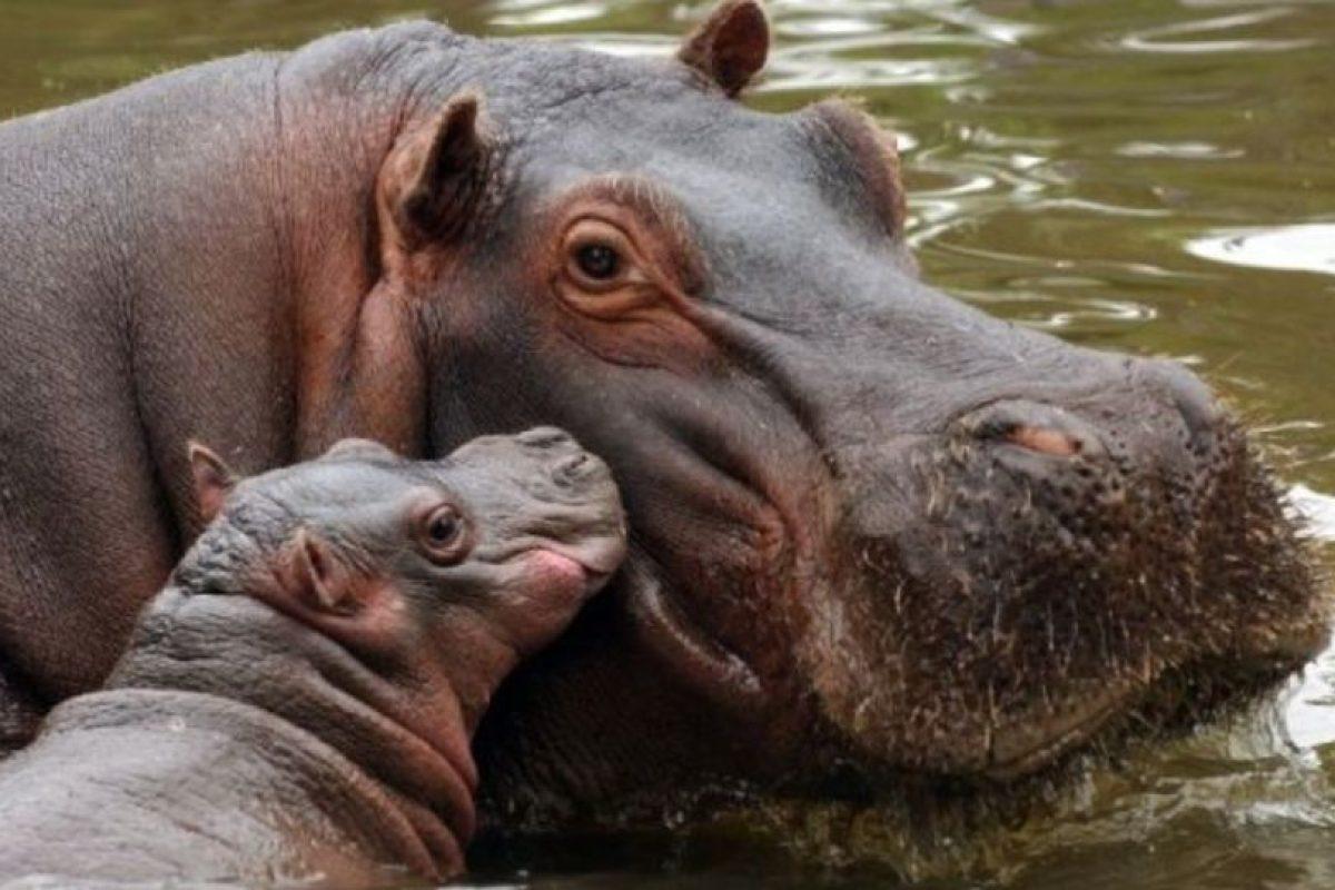 Los hipopótamos pueden golpear, morder y aplastar hasta causar la muerte. Foto:vía Wikipedia. Imagen Por: