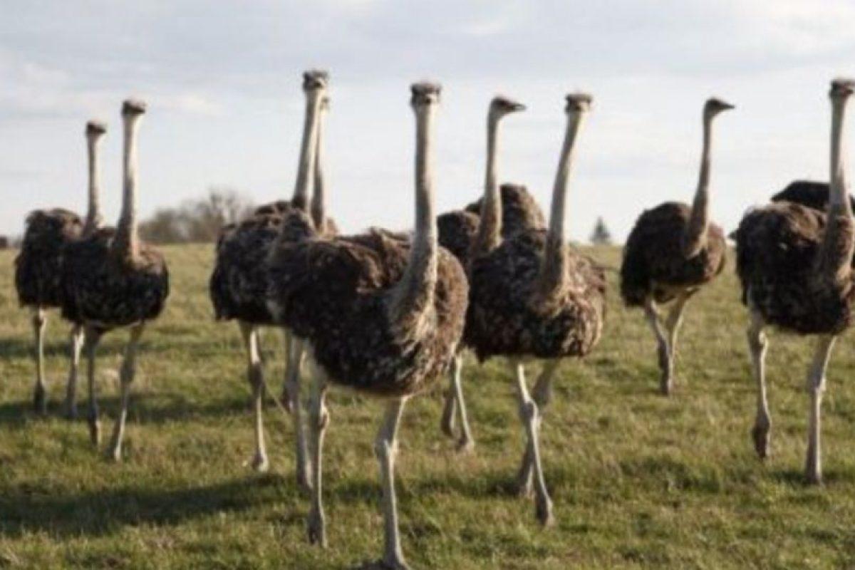 Los golpes y picotazos de las avestruces pueden causar la muerte. Foto:vía Wikipedia. Imagen Por: