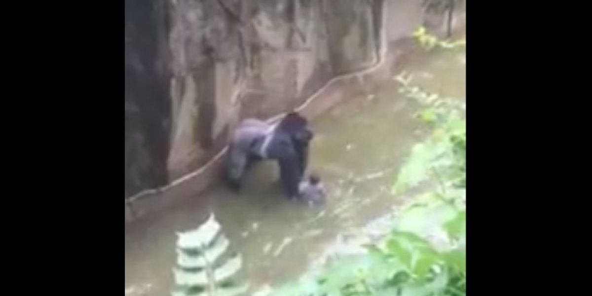 Matan a gorila en zoológico de Cincinatti para salvar la vida de niño de 4 años