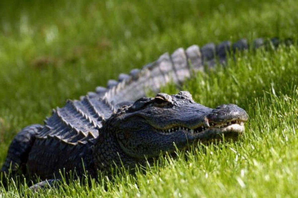 Los caimanes pertenecen a la familia de los aligatóridos Foto:Getty Images. Imagen Por:
