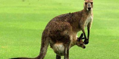 Australia: canguro se abalanza sobre mujer y le rompe sus implantes mamarios
