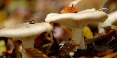 Concepción: mujer pierde la vida tras consumir hongos venenosos