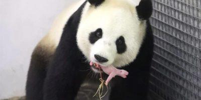 ¡Es un niño! Una osa panda gigante dio a luz en Bélgica