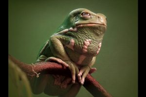 Conozcan a la Phyllomedusa sauvagii Foto:Keith Talbot. Imagen Por: