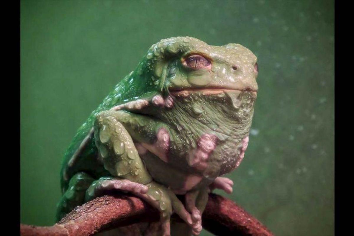 Conocida como ranas mono porque en lugar de saltar, caminan y escalan para moverse Foto:Keith Talbot. Imagen Por: