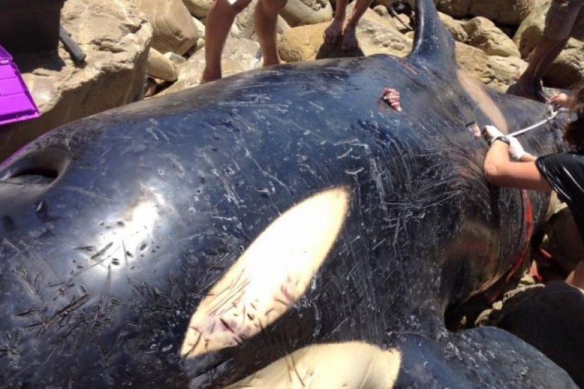 Fue descubierto en las playas de la bahía Plettenberg, en el estado de West Cape, de Sudáfrica, el 21 de diciembre de 2015 Foto:Facebook.com/OrcaPlett. Imagen Por: