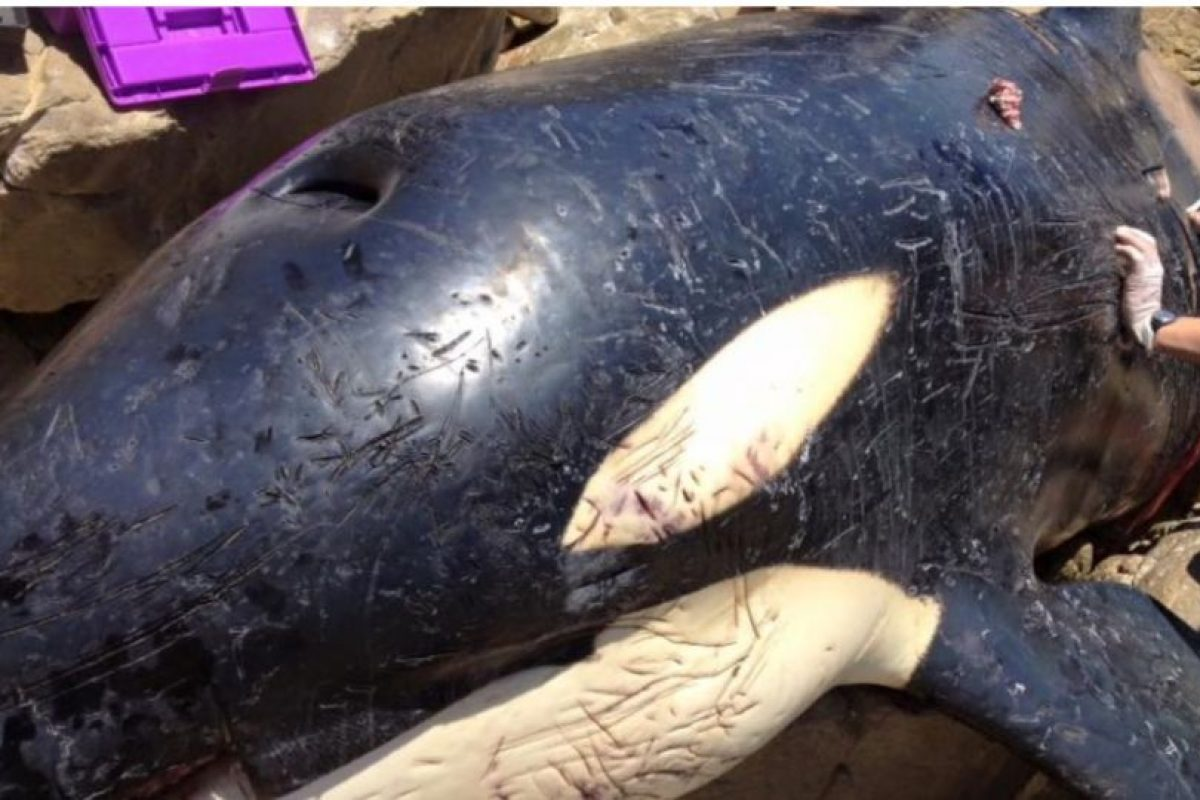 Descubrieron una orca encallada y lo que tenía en el estómago les partirá el corazón Foto:Facebook.com/OrcaPlett. Imagen Por: