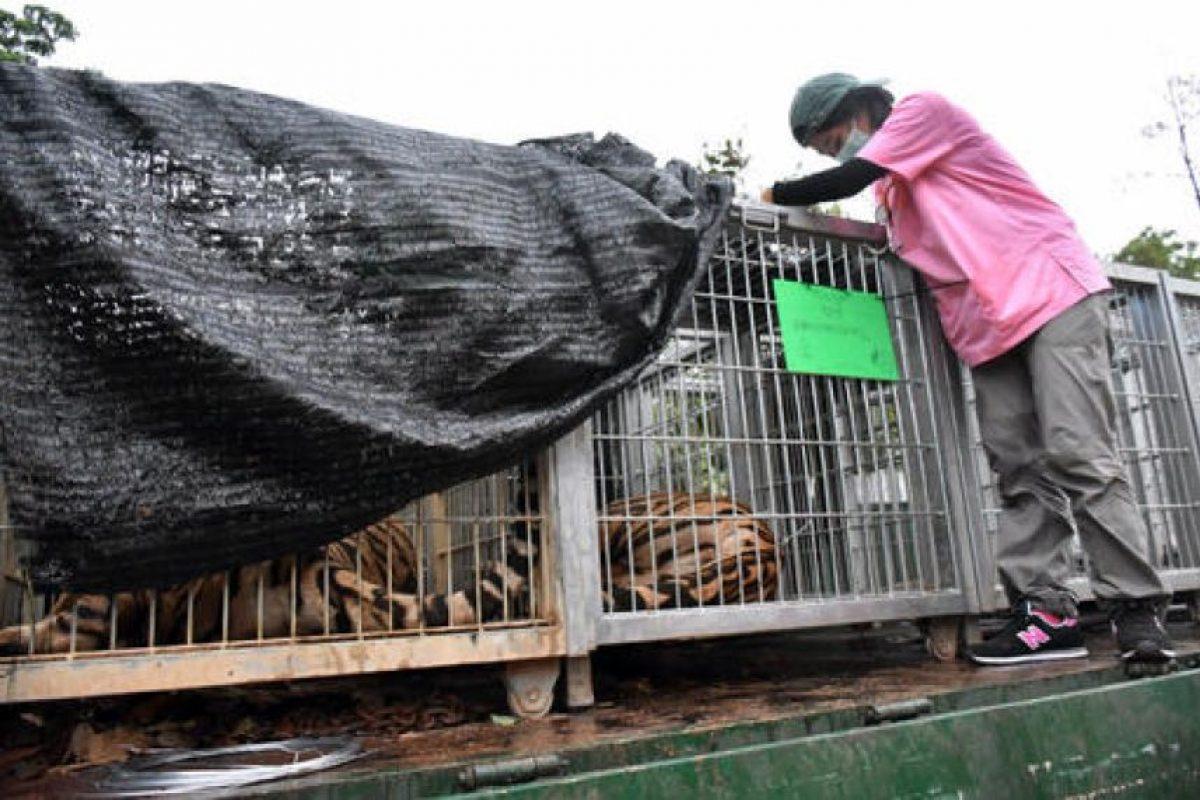 Se removieron 137 tigres del templo. Foto:AP. Imagen Por: