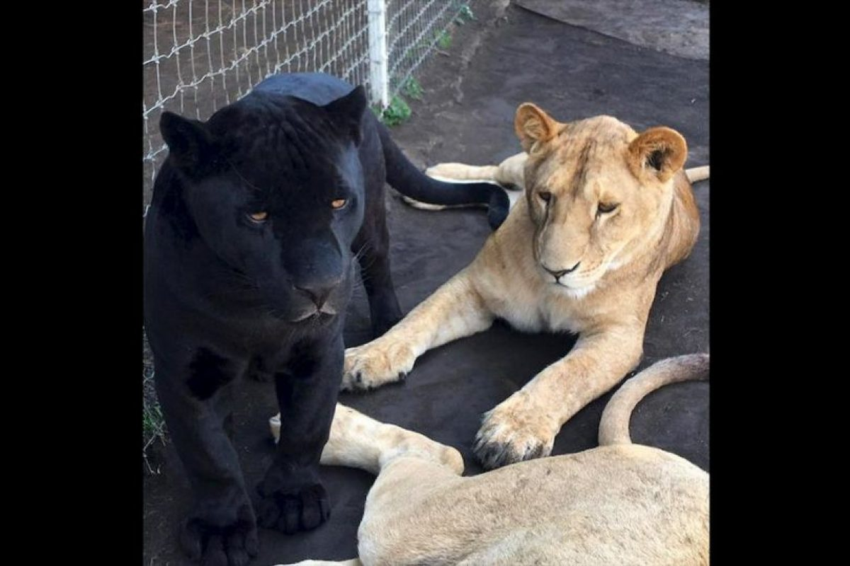 "Donde sus ""bebés"" conviven a pesar de pertenecer a distintas especies. Foto:Black Jaguar White Tiger Foundation. Imagen Por:"