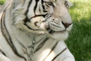 Los tigres blancos son ejemplares con una condición genética que elimina los pigmentos de su coloración normalmente anaranjada. Foto:Getty Images. Imagen Por: