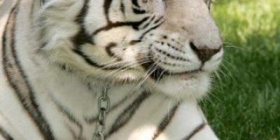 Video: Tigre intenta atacar a mujer en un zoológico de Rusia