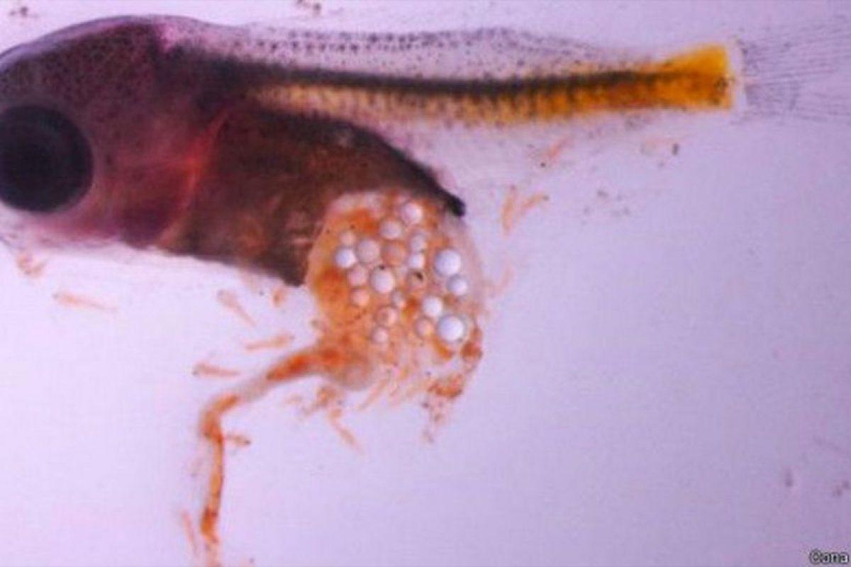 Los peces se están volviendo adictos al plástico. Foto:OONA LONNSTEDT. Imagen Por: