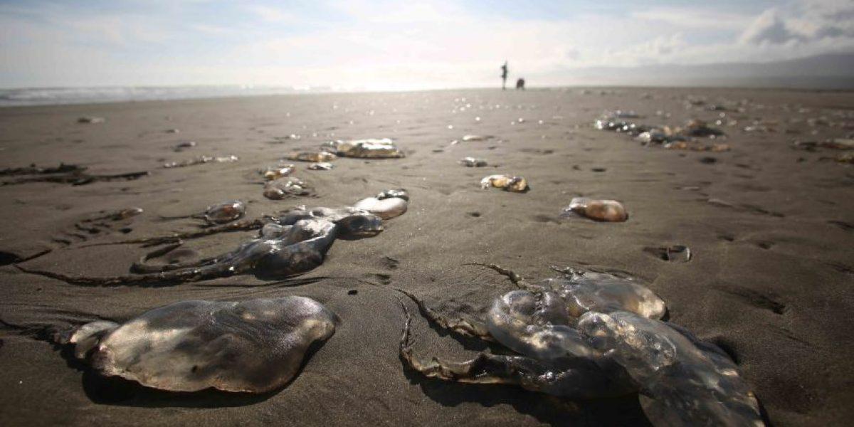 Cerca de 50 mil medusas vararon en la región de Los Lagos