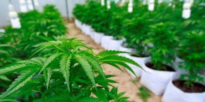 Corte acoge recurso de protección en favor de menor en tratamiento con aceite de cannabis