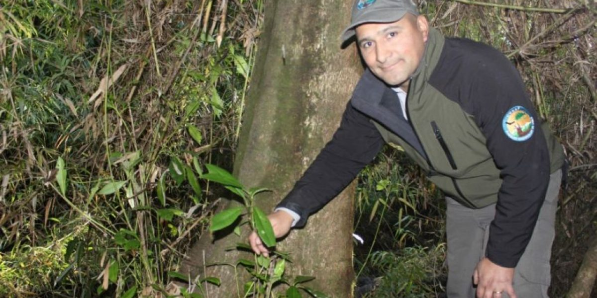 Conaf encontró ejemplares de árbol en estado de extinción en Reserva Nonguén