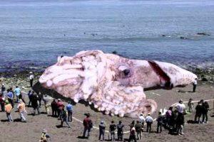 La leyenda puede haberse originado de avistamientos de calamares gigantes reales que estimadamente tendrían de 13 a 15 metros de largo, incluyendo los tentáculos. Foto:Wikicommons. Imagen Por: