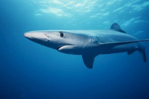 Se le considera uno de los tiburones más rápidos del océano Foto:Wikimedia. Imagen Por: