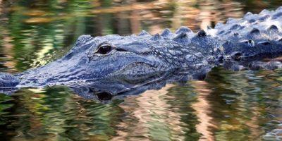 Capturan a caimán que mató a niño de 2 años en Disney World