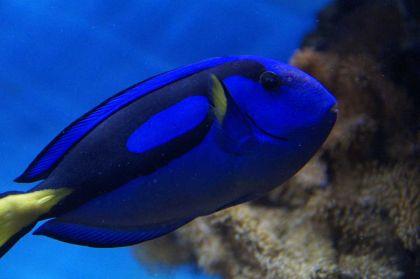 Este pez de arrecife es nativo de las aguas de los océanos Índico y Pacífico.