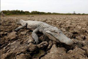 Terribles imágenes como la de este caimán muerto en Bolivia cada vez son más comunes. Foto:AP. Imagen Por: