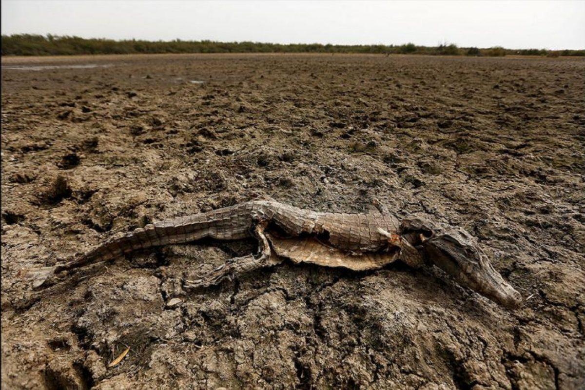 Caimanes yacarés, peces y carpinchos son los animales más afectados por una fuerte sequía que afecta la región. Foto:AP. Imagen Por:
