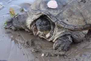 Fue atacada con un destornillador Foto:Vía Facebook.com/The-Tuttle-Turtle. Imagen Por: