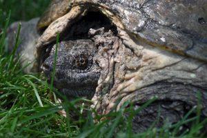 Se calcula que tiene 100 años de edad Foto:Vía Facebook.com/The-Tuttle-Turtle. Imagen Por: