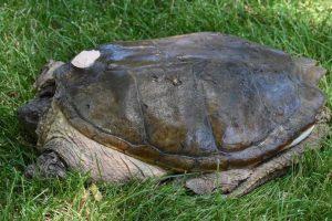 Nueve meses después, regresó a su hábitat natural Foto:Vía Facebook.com/The-Tuttle-Turtle. Imagen Por: