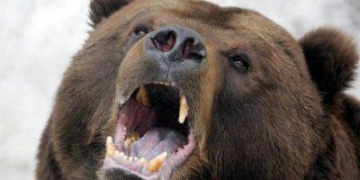 Estados Unidos: oso grizzly devoró a un ciclista que paseaba por parque nacional