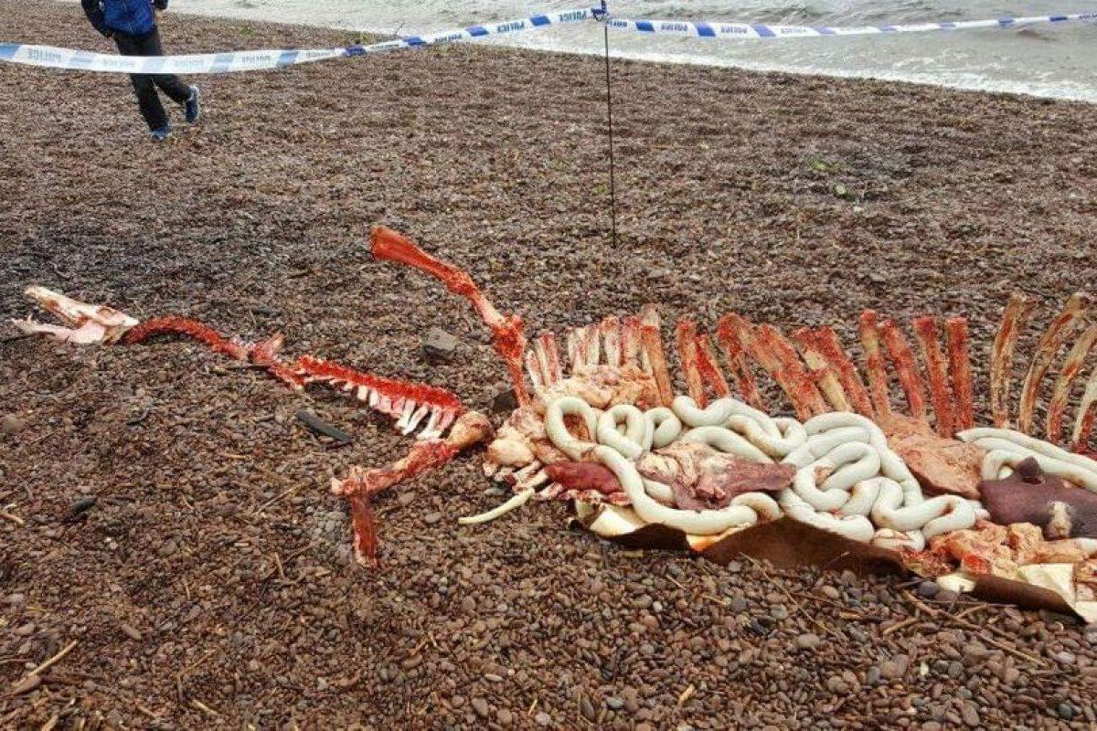 Estos restos podrían pertenecer al temino Monstruo del Lago Ness. Foto:Facebook/Help2RehomeScotland. Imagen Por: