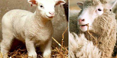 A 20 años de la oveja Dolly mucha gente en el mundo consume carne clonada