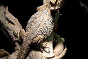 El nombre científico del dragón barbudo es Pogona vitticeps Foto:Creative Commons. Imagen Por: