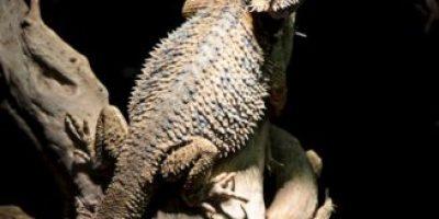 A este impresionante dragón barbudo de dos cabezas le gustan las chinches