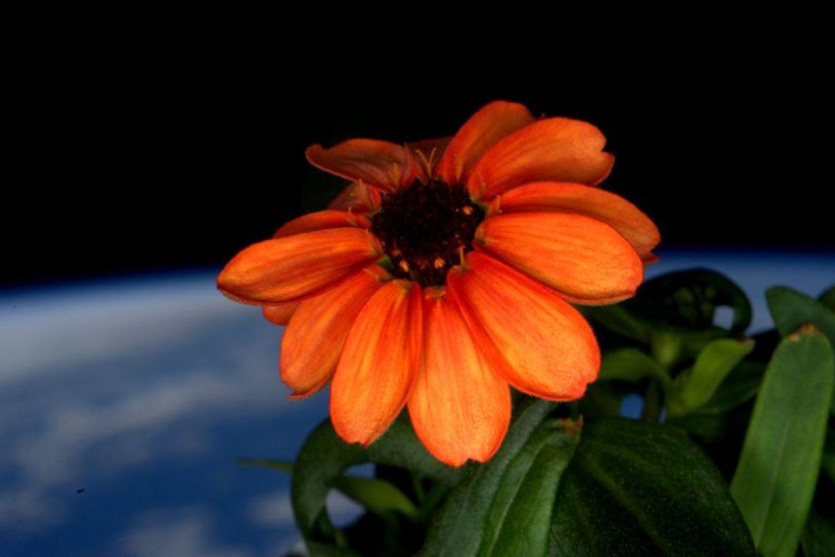 La primera flor que creció en el espacio Foto:NASA. Imagen Por: